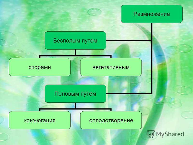 Размножение Бесполым путём спорами вегетативным Половым путём конъюгация оплодотворение