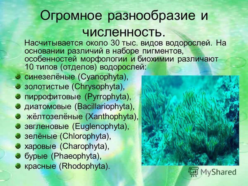Огромное разнообразие и численность. Насчитывается около 30 тыс. видов водорослей. На основании различий в наборе пигментов, особенностей морфологии и биохимии различают 10 типов (отделов) водорослей: синезелёные (Cyanophyta), золотистые (Chrysophyta