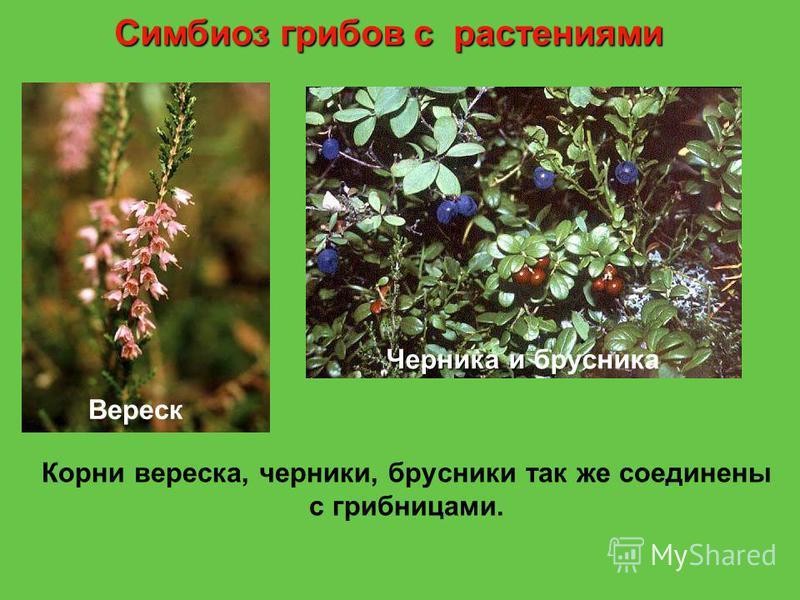 Корни вереска, черники, брусники так же соединены с грибницами. Вереск Черника и Черника и брусника Симбиоз грибов с растениями