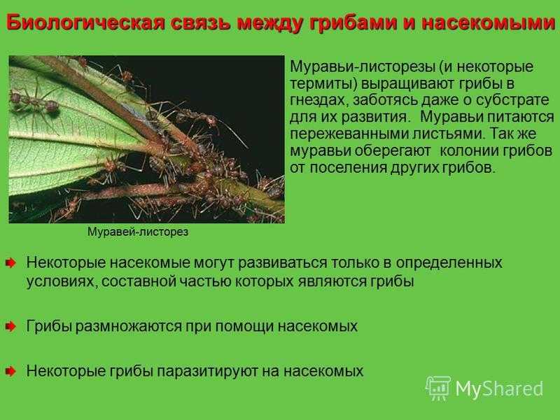 Муравей-листорез Муравьи-листорезы (и некоторые термиты) выращивают грибы в гнездах, заботясь даже о субстрате для их развития. Муравьи питаются пережеванными листьями. Так же муравьи оберегают колонии грибов от поселения других грибов. Некоторые нас