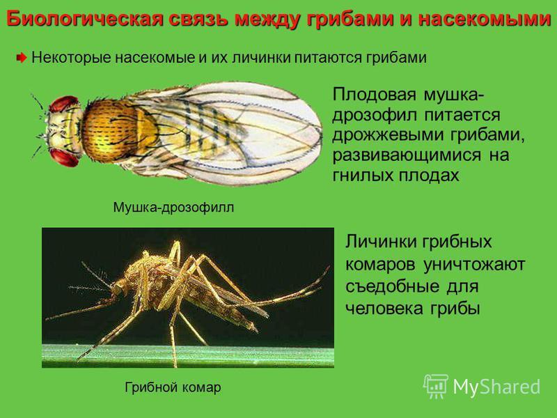 Некоторые насекомые и их личинки питаются грибами Плодовая мушка- дрозофил питается дрожжевыми грибами, развивающимися на гнилых плодах Личинки грибных комаров уничтожают съедобные для человека грибы Мушка-дрозофилл Грибной комар Биологическая связь