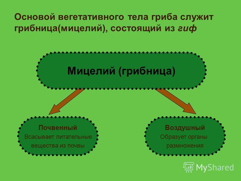 Основой вегетативного тела гриба служит грибница(мицелий), состоящий из гиф Мицелий (грибница) Почвенный Всасывает питательные вещества из почвы Воздушный Образует органы размножения