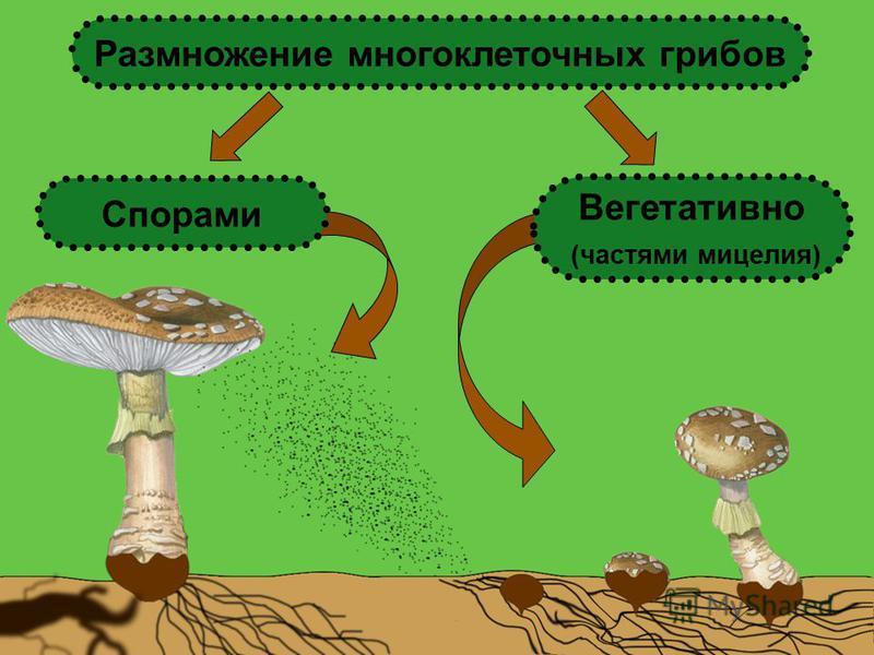 Вегетативно (частями мицелия) Спорами Размножение многоклеточных грибов