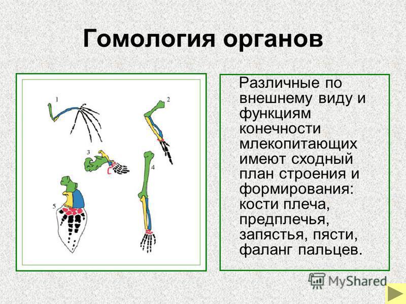 Гомология органов Различные по внешнему виду и функциям конечности млекопитающих имеют сходный план строения и формирования: кости плеча, предплечья, запястья, пясти, фаланг пальцев.