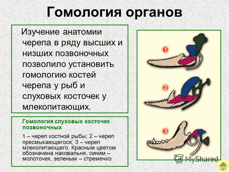 Гомология органов Гомология слуховых косточек позвоночных 1 – череп костной рыбы; 2 – череп пресмыкающегося; 3 – череп млекопитающего. Красным цветом обозначена наковальня, синим – молоточек, зеленым – стремечко Изучение анатомии черепа в ряду высших