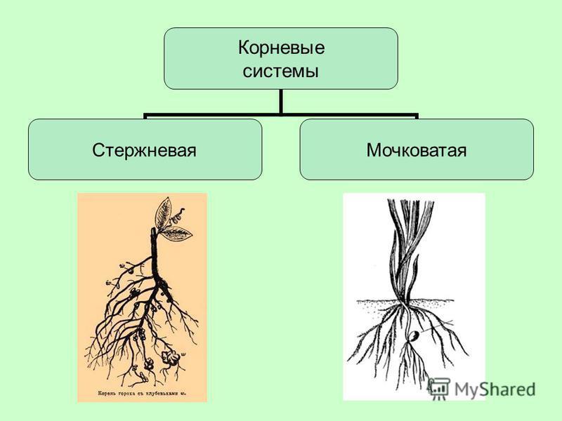 Корневые системы Стержневая Мочковатая