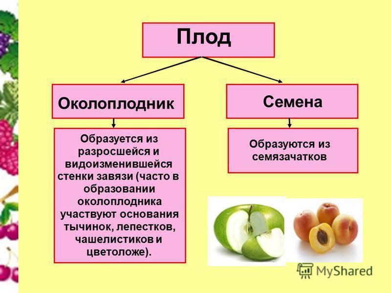 Плод Околоплодник Семена Образуется из разросшейся и видоизменившейся стенки завязи (часто в образовании околоплодника участвуют основания тычинок, лепестков, чашелистиков и цветоложе). Образуются из семязачатков