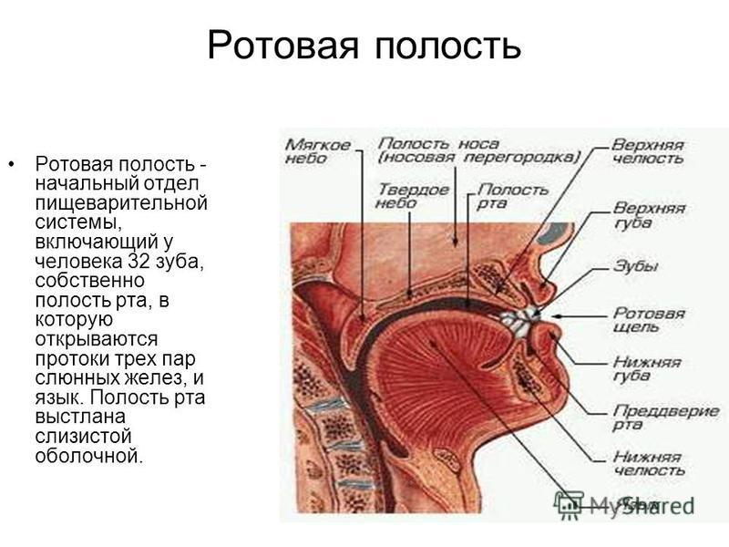 Ротовая полость Ротовая полость - начальный отдел пищеварительной системы, включающий у человека 32 зуба, собственно полость рта, в которую открываются протоки трех пар слюнных желез, и язык. Полость рта выстлана слизистой оболочной.