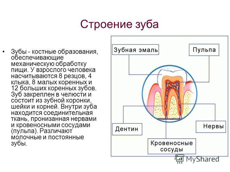 Строение зуба Зубы - костные образования, обеспечивающие механическую обработку пищи. У взрослого человека насчитываются 8 резцов, 4 клыка, 8 малых коренных и 12 больших коренных зубов. Зуб закреплен в челюсти и состоит из зубной коронки, шейки и кор