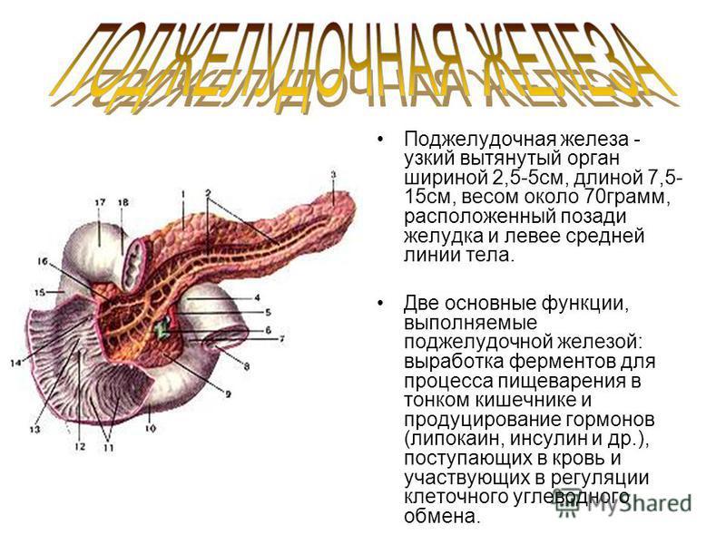 Поджелудочная железа - узкий вытянутый орган шириной 2,5-5 см, длиной 7,5- 15 см, весом около 70 гра мм, расположенный позади желудка и левее средней линии тела. Две основные функции, выполняемые поджелудочной железой: выработка ферментов для процесс