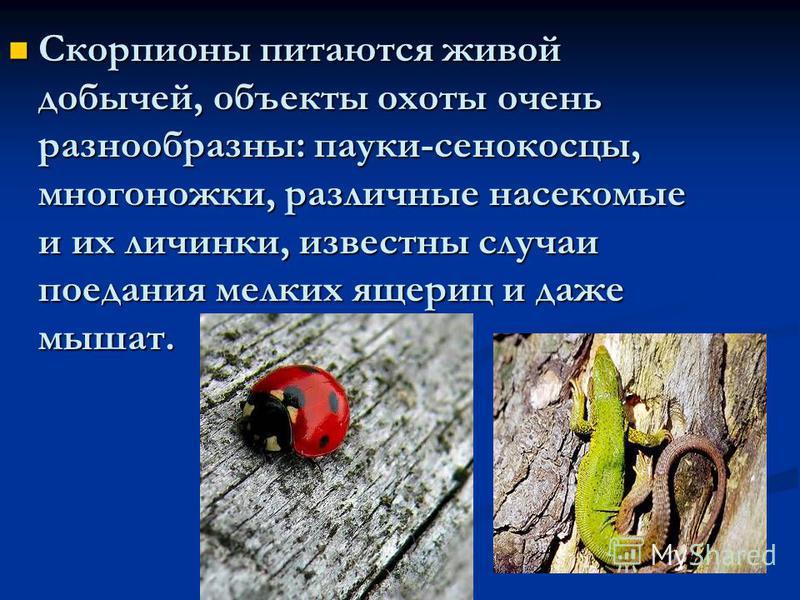 Скорпионы питаются живой добычей, объекты охоты очень разнообразны: пауки-сенокосцы, многоножки, различные насекомые и их личинки, известны случаи поедания мелких ящериц и даже мышат. Скорпионы питаются живой добычей, объекты охоты очень разнообразны