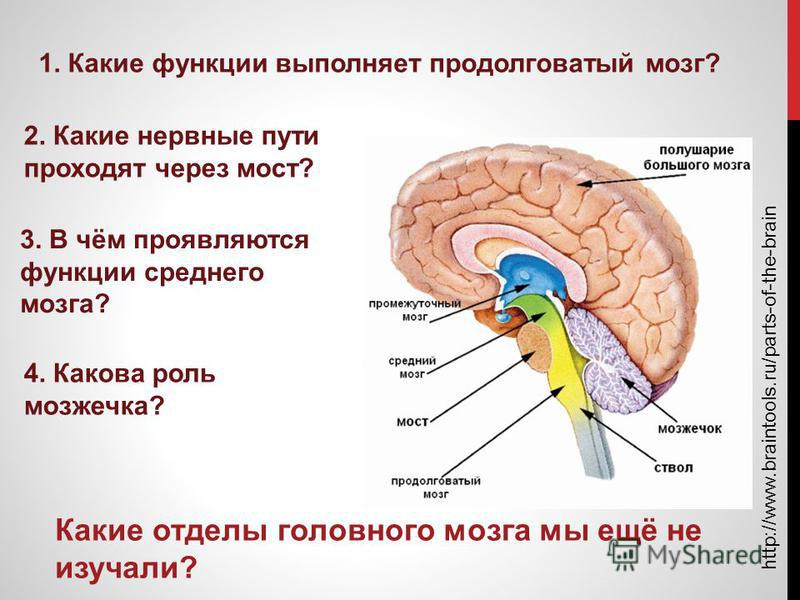 http://www.braintools.ru/parts-of-the-brain Какие отделы головного мозга мы ещё не изучали? 1. Какие функции выполняет продолговатый мозг? 2. Какие нервные пути проходят через мост? 3. В чём проявляются функции среднего мозга? 4. Какова роль мозжечка