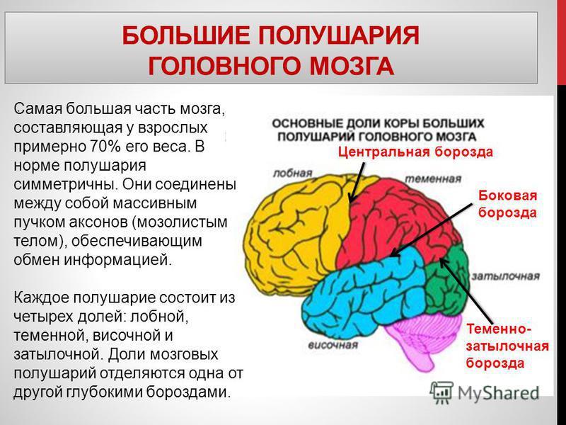 БОЛЬШИЕ ПОЛУШАРИЯ ГОЛОВНОГО МОЗГА. Самая большая часть мозга, составляющая у взрослых примерно 70% его веса. В норме полушария симметричны. Они соединены между собой массивным пучком аксонов (мозолистым телом), обеспечивающим обмен информацией. Каждо