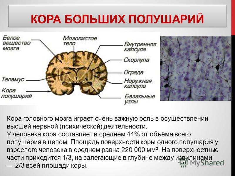 КОРА БОЛЬШИХ ПОЛУШАРИЙ Кора головного мозга играет очень важную роль в осуществлении высшей нервной (психической) деятельности. У человека кора составляет в среднем 44% от объёма всего полушария в целом. Площадь поверхности коры одного полушария у вз