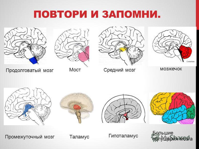 ПОВТОРИ И ЗАПОМНИ. Промежуточный мозг Таламус Продолговатый мозг Средний мозг Мост Гипоталамус мозжечок Большие полушария мозга