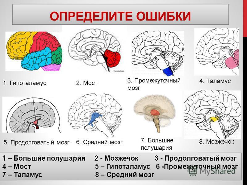 ОПРЕДЕЛИТЕ ОШИБКИ 1. Гипоталамус 2. Мост 3. Промежуточный мозг 5. Продолговатый мозг 6. Средний мозг 7. Большие полушария 1 – Большие полушария 2 - Мозжечок 3 - Продолговатый мозг 4 – Мост 5 – Гипоталамус 6 -Промежуточный мозг 7 – Таламус 8 – Средний
