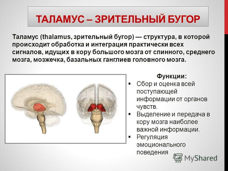 ТАЛАМУС – ЗРИТЕЛЬНЫЙ БУГОР Таламус (thalamus, зрительный бугор) структура, в которой происходит обработка и интеграция практически всех сигналов, идущих в кору большого мозга от спинного, среднего мозга, мозжечка, базальных ганглиев головного мозга.