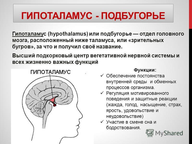 ГИПОТАЛАМУС - ПОДБУГОРЬЕ Гипоталамус (hypothalamus) или подбугорье отдел головного мозга, расположенный ниже таламуса, или «зрительных бугров», за что и получил своё название. Высший подкорковый центр вегетативной нервной системы и всех жизненно важн