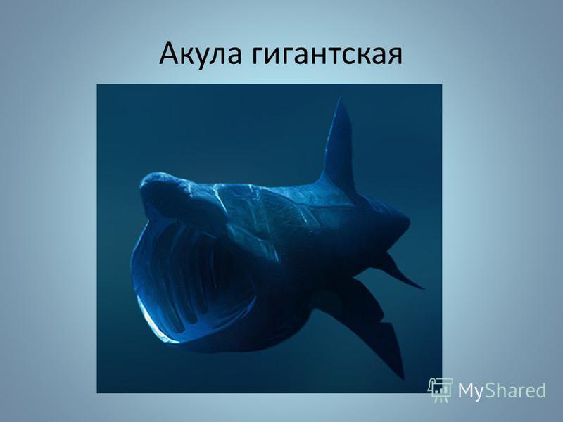Акула гигантская