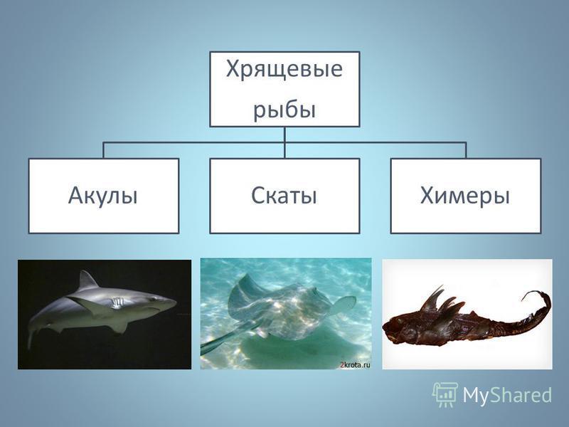Хрящевые рыбы Акулы СкатыХимеры