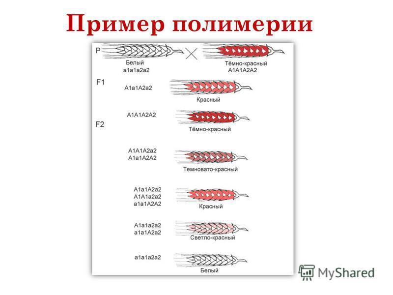 Пример полимерии