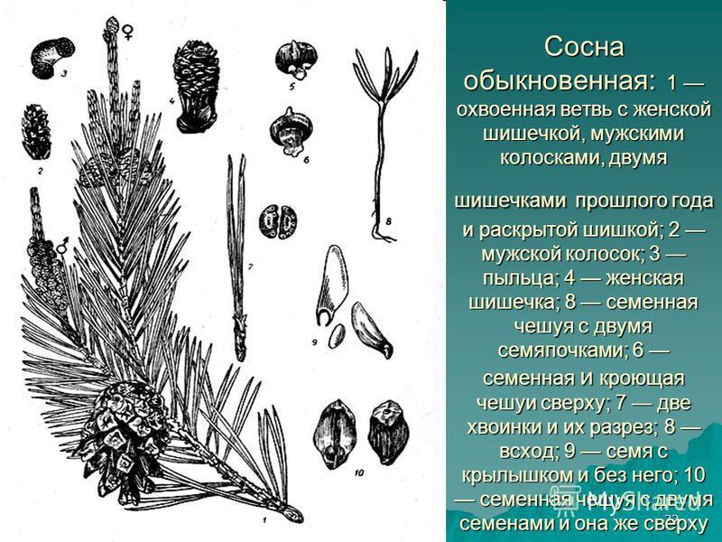 24 июля 2015 г.24 июля 2015 г.24 июля 2015 г.24 июля 2015 г.32 Сосна обыкновенная: 1 охваченная ветвь с женской шишечкой, мужскими колосками, двумя шишечками прошлого года и раскрытой шишкой; 2 мужской колосок; 3 пыльца; 4 женская шишечка; 8 семенная