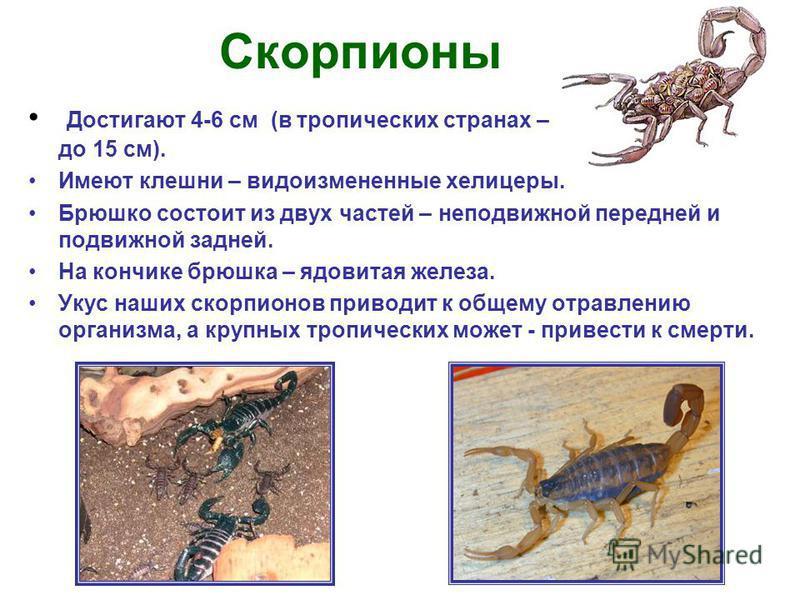 Скорпионы Достигают 4-6 см (в тропических странах – до 15 см). Имеют клешни – видоизмененные хелицеры. Брюшко состоит из двух частей – неподвижной передней и подвижной задней. На кончике брюшка – ядовитая железа. Укус наших скорпионов приводит к обще