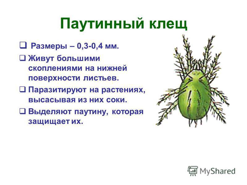 Паутинный клещ Размеры – 0,3-0,4 мм. Живут большими скоплениями на нижней поверхности листьев. Паразитируют на растениях, высасывая из них соки. Выделяют паутину, которая защищает их.