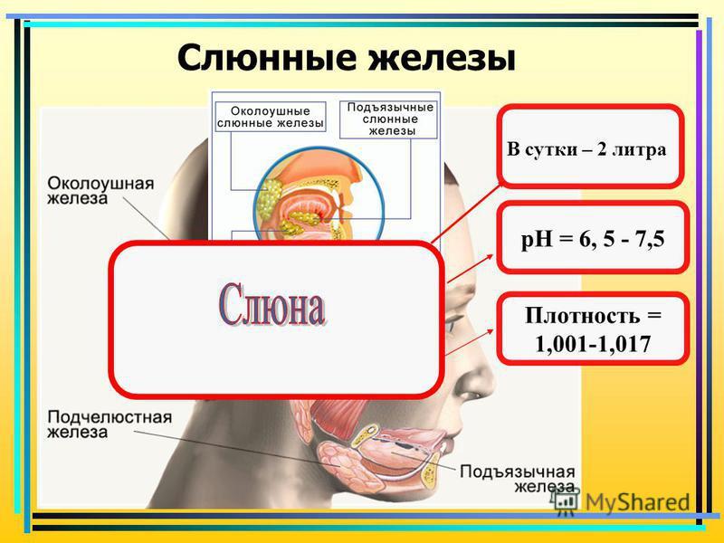 Слюнные железы В сутки – 2 литра рH = 6, 5 - 7,5 Плотность = 1,001-1,017