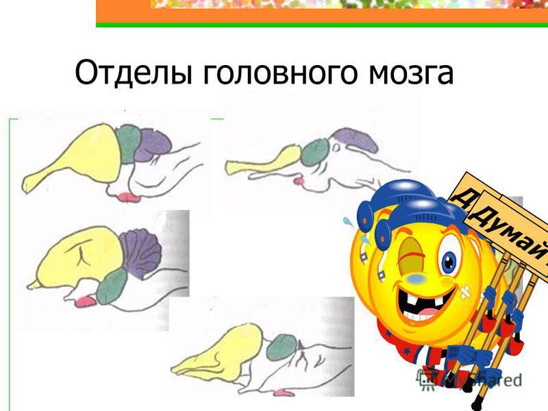 Отделы головного мозга Думай !