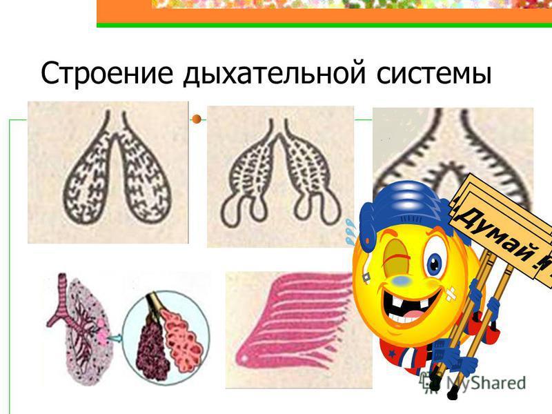 Строение дыхательной системы Думай !
