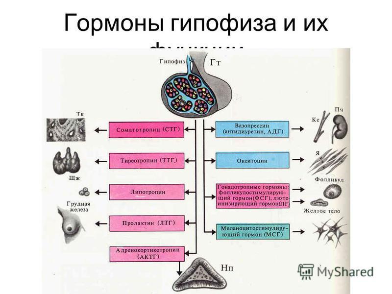 Гормоны гипофизза и их функции