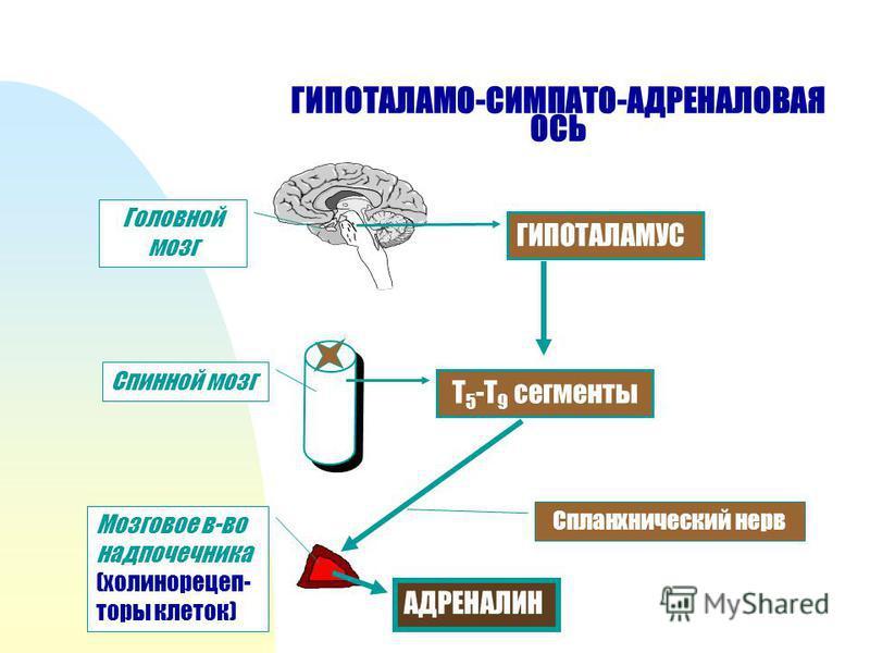 ГИПОТАЛАМО-СИМПАТО-АДРЕНАЛОВАЯ ОСЬ ГИПОТАЛАМУС Т 5 -Т 9 сегменты Спланхнический нерв Головной мозг Спинной мозг Мозговое в-во надпочечника (холинорецепторы клеток) АДРЕНАЛИН
