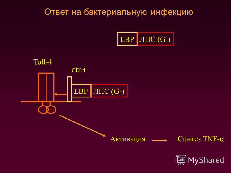 Ответ на бактериальную инфекцию Toll-4 CD14 ЛПС (G-)LBP ЛПС (G-)LBP Активация Синтез TNF-
