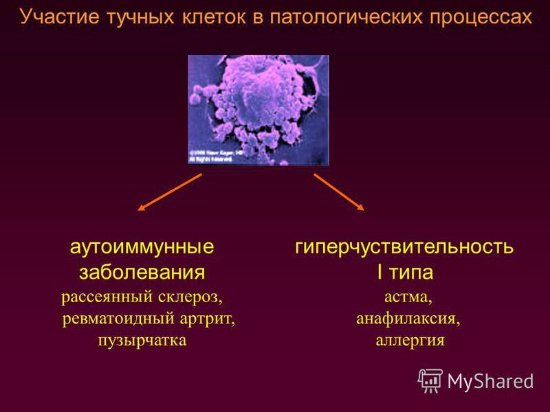 Участие тучных клеток в патологических процессах аутоиммунные заболевания рассеянный склероз, ревматоидный артрит, пузырчатка гиперчувствительность I типа астма, анафилаксия, аллергия