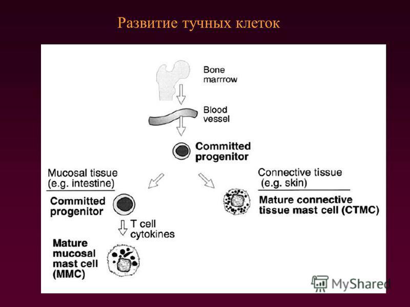 Развитие тучных клеток