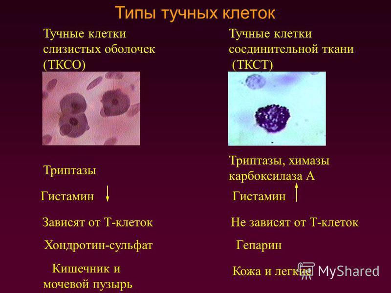 Типы тучных клеток Тучные клетки слизистых оболочек (ТКСО) Тучные клетки соединительной ткани (ТКСТ) Триптазы Триптазы, химазы карбоксилаза А Гистамин Зависят от Т-клеток Не зависят от Т-клеток Кожа и легкие Кишечник и мочевой пузырь Хондротин-сульфа