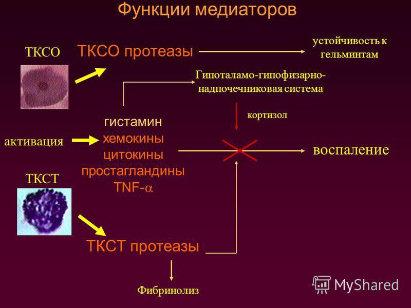 ТКСО ТКСТ активация ТКСО протеазы ТКСТ протеазы устойчивость к гельминтам Фибринолиз гистамин хемокины цитокины простагландины TNF- Функции медиаторов воспаление Гипоталамо-гипофизарно- надпочечниковая система кортизол