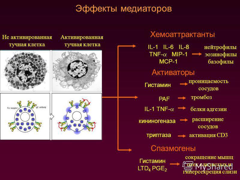 Эффекты медиаторов Не активированная тучная клетка Активированная тучная клетка Хемоаттрактанты IL-1 IL-6 IL-8 TNF- MIP-1 MCP-1 нейтрофилы эозинофилы базофилы Спазмогены Гистамин LTD 4 PGE 2 сокращение мышц отек слизистых и гиперсекреция слизи Актива