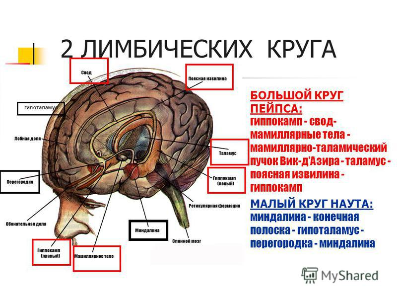2 ЛИМБИЧЕСКИХ КРУГА БОЛЬШОЙ КРУГ ПЕЙПСА: гиппокамп - свод- мамиллярные тела - мамиллярно-таламический пучок Вик-д Азира - таламус - поясная извилина - гиппокамп МАЛЫЙ КРУГ НАУТА: миндалина - конечная полоска - гипоталамус - перегородка - миндалина ги