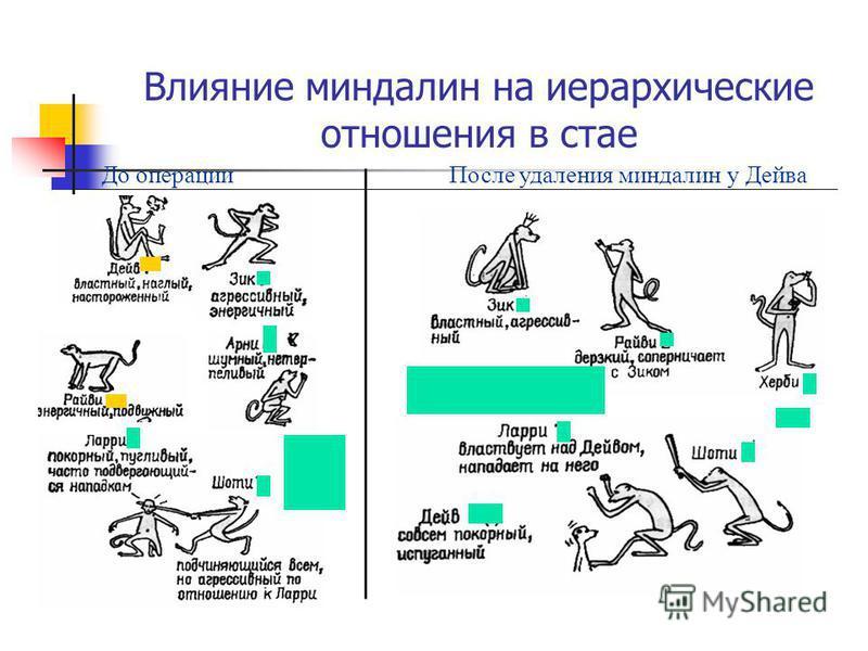 Влияние миндалин на иерархические отношения в стае До операции После удаления миндалин у Дейва