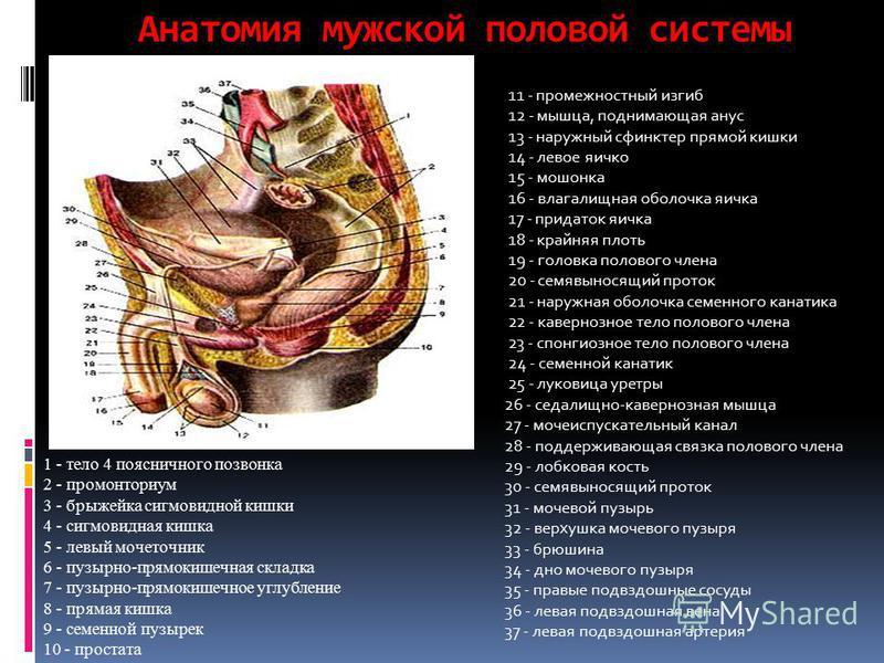 Анатомия мужской половой системы 11 - промежностный изгиб 12 - мышца, поднимающая анус 13 - наружный сфинктер прямой кишки 14 - левое яичко 15 - мошонка 16 - влагалищная оболочка яичка 17 - придаток яичка 18 - крайняя плоть 19 - головка полового член