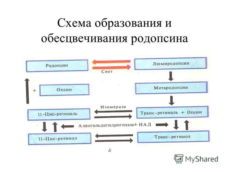 Схема образования и обесцвечивания родопсина