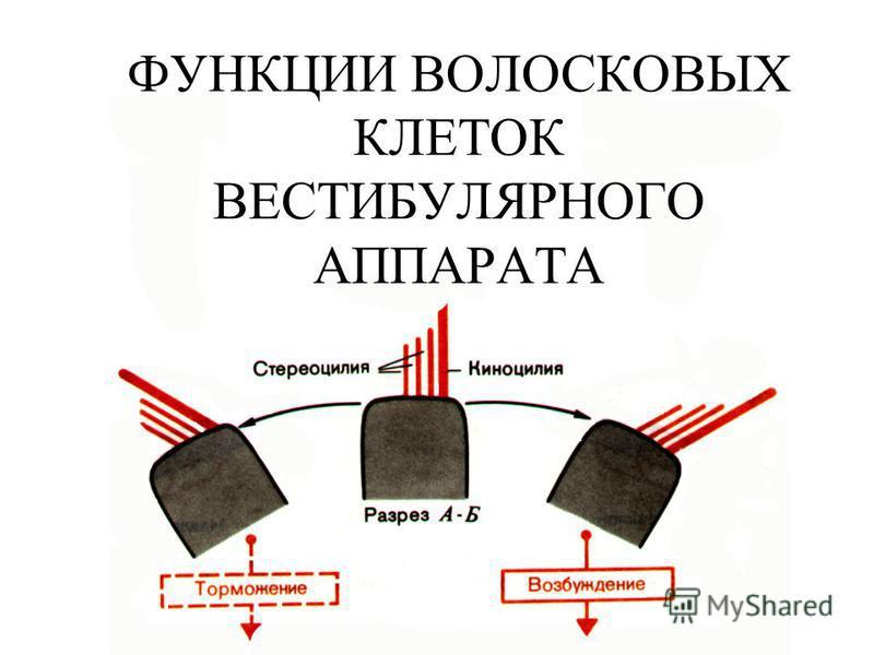 ФУНКЦИИ ВОЛОСКОВЫХ КЛЕТОК ВЕСТИБУЛЯРНОГО АППАРАТА