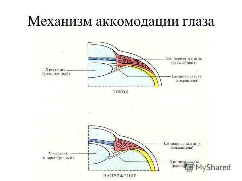 Механизм аккомодации глаза
