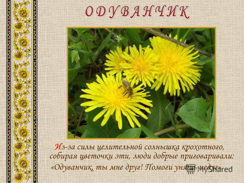 Из-за силы целительной солнышка крохотного, собирая цветочки эти, люди добрые приговаривали: «Одуванчик, ты мне друг! Помоги унять недуг».