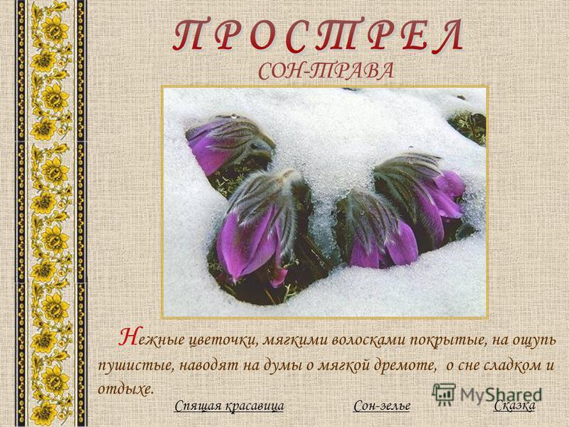 СОН-ТРАВА Н ежные цветочки, мягкими волосками покрытые, на ощупь пушистые, наводят на думы о мягкой дремоте, о сне сладком и отдыхе. Сказка Сон-зелье Спящая красавица