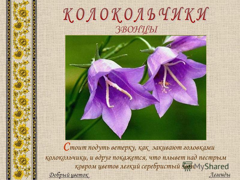 ЗВОНЦЫ С тоит подуть ветерку, как закивают головками колокольчики, и вдруг покажется, что плывет над пестрым ковром цветов легкий серебристый звон. Легенды Добрый цветок