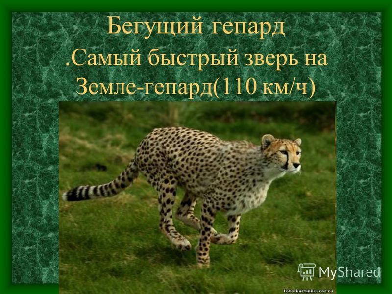 Бегущий гепард. Самый быстрый зверь на Земле-гепард(110 км/ч)