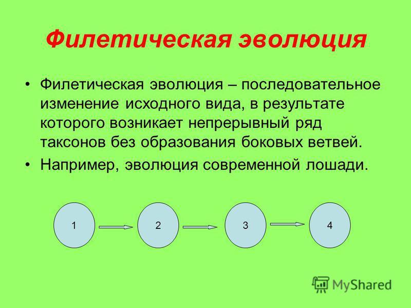 Филетическая эволюция Филетическая эволюция – последовательное изменение исходного вида, в результате которого возникает непрерывный ряд таксонов без образования боковых ветвей. Например, эволюция современной лошади. 1234